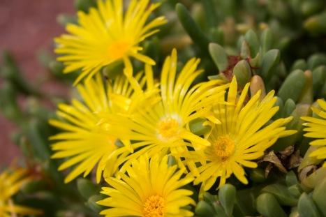 Yellow Ice Plant - The Red Hills Desert Garden, May 23, 2015, St. George, Utah.